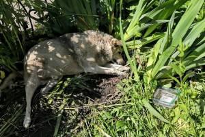 В Трубчевске водитель переехал лежавшую в тени собаку