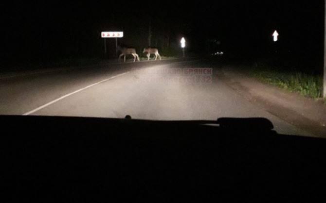 На брянской дороге ночью сфотографировали двух лосей