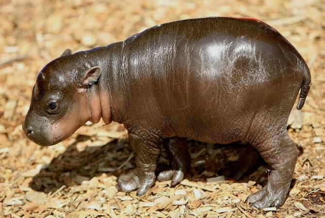 В брянском зоопарке на Кургане Бессмертия родились бегемотики