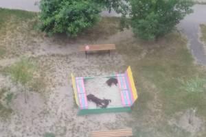 В Брянске детскую песочницу захватили бродячие собаки