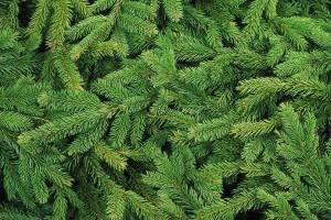 В Брянской области открыли онлайн-продажу новогодних елок