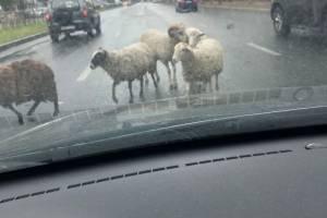 В Брянске овцы едва не устроили аварию на Станке Димитрова