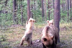 В заповеднике «Брянский лес» фотоловушка поймала «медвежий класс»