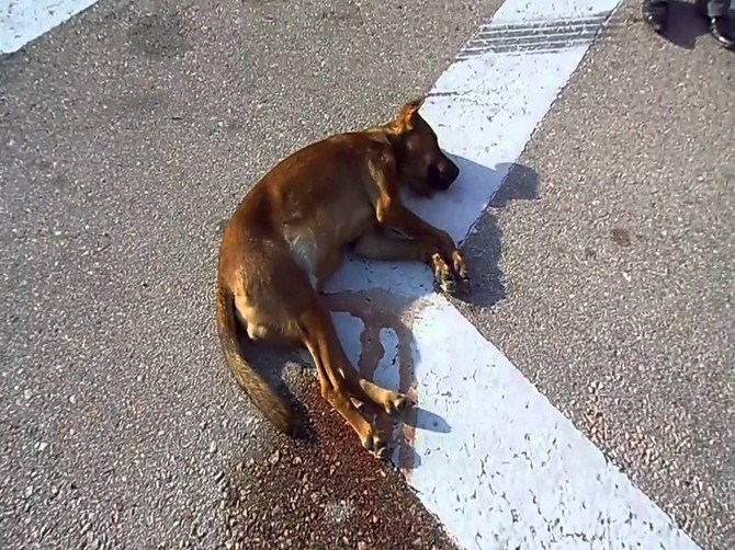 В Брянске водителя лишили прав за сбитую насмерть собаку