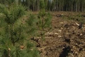 На Брянщине восстановят территории пяти лесничеств