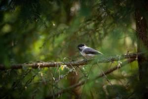 В «Брянском лесу» фотографу повезло запечатлеть королька, гренадерок и глухарок