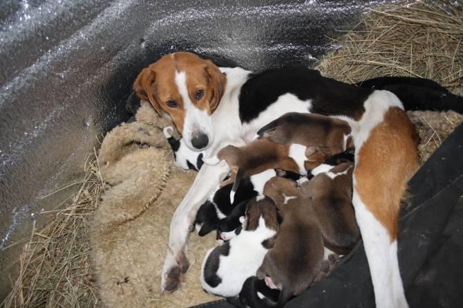 В Навлинском районе ищут хозяев эстонской гончей и ее 11 щенкам