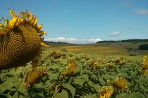 На Брянщине в этом году ожидают высокий урожай подсолнечника