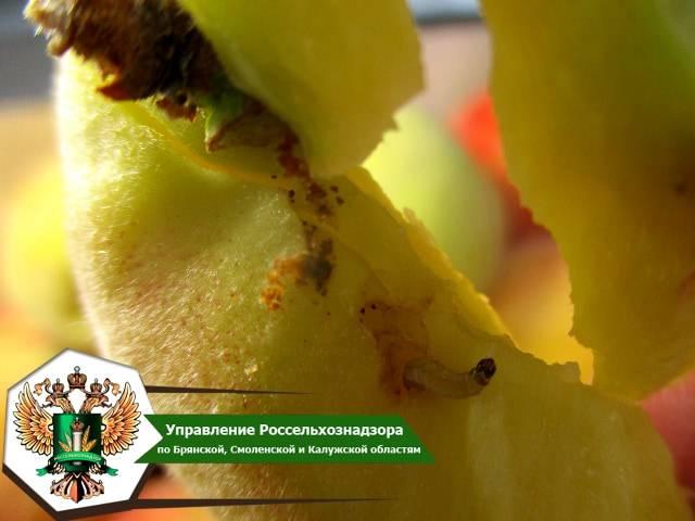 На брянской границе завернули 8,5 тонны турецких персиков