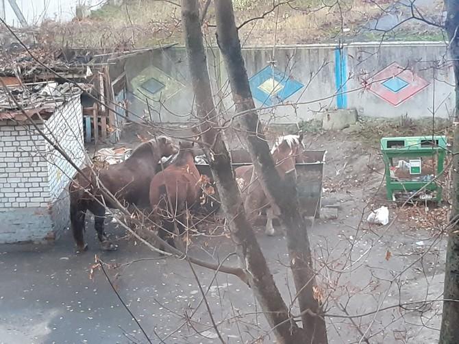 В Брянске голодные лошади в поисках еды добрались до мусорок