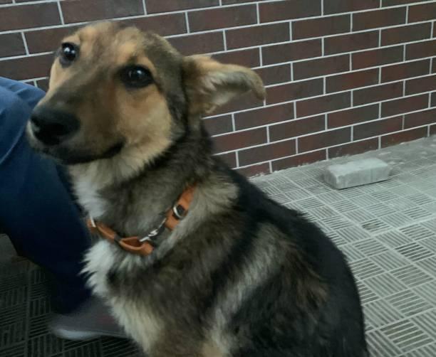 В Брянске ищут хозяев потерявшейся собаки