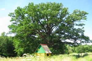 Навлинский «Партизанский дуб» борется за звание «Российского дерева года»