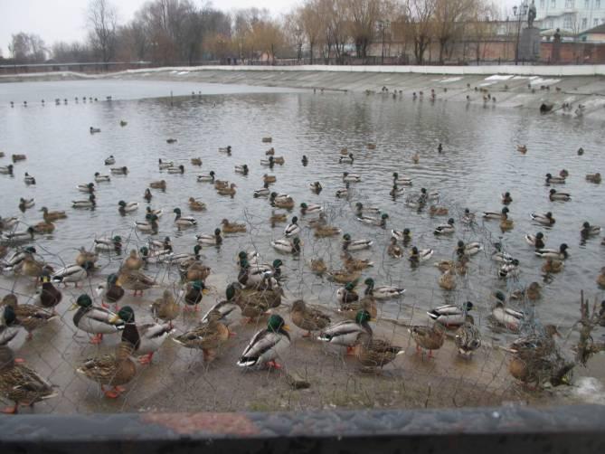 В центре Новозыбкова устроилась на зимовку огромная стая уток