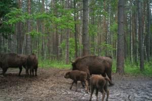 В заповеднике «Брянский лес» фотоловушка поймала новорожденных зубрят