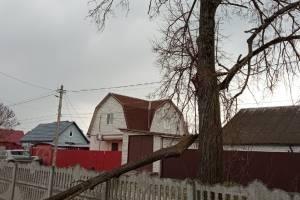В Брянске аварийное дерево грозит рухнуть на проезжую часть