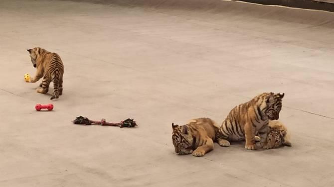 В Брянском цирке родились тигрята