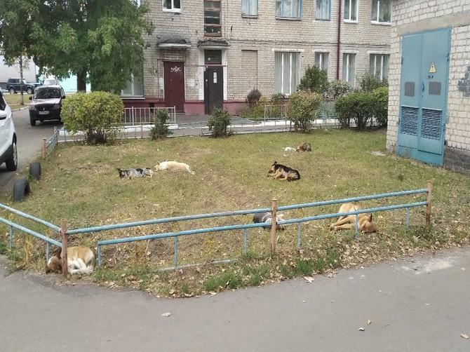 В Брянске  сняли послеобеденный сон жуткой стаи собак