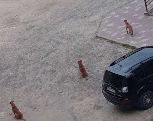 В Брянске дворы у школы №51 оккупировали стаи бродячих собак