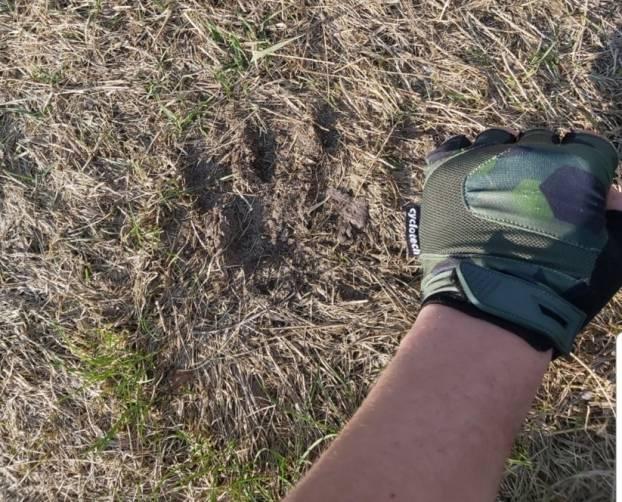 В окрестностях поселка Белые Берега заметили медвежьи следы
