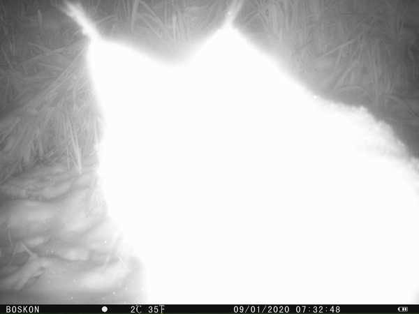 В брянском лесу сфотографировали призрак рыси