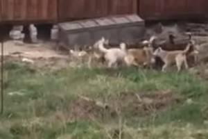 В Карачеве сняли на видео убийство собаки стаей бродячих псов