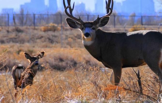 Брянский водитель заметил возле ТРЦ «Аэропарк» настоящего оленя