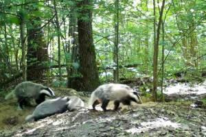 В «Брянском лесу» сняли прогулку семьи барсуков