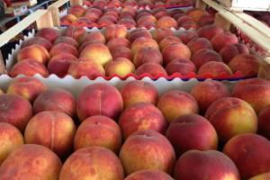 В Брянской области обнаружили 8 тонн заражённых персиков