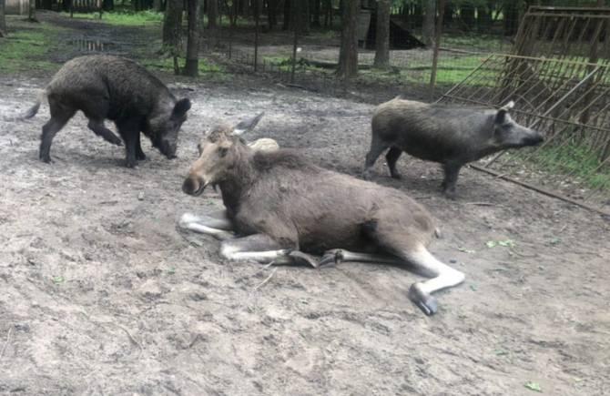 В Брянске пообещали позаботиться о спасённой лосихе Даше