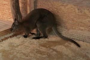 В зоопарке Брянска появился на свет малыш кенгуру