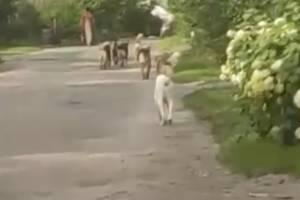 В Брянске бездомные псы захватили улицу Тютчева