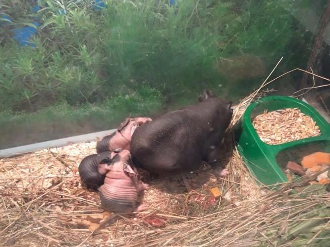 В брянском зоопарке свинки скинни преподнесли очередное потомство