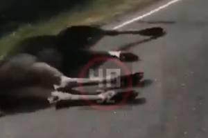 Под Брянском легковушка сбила насмерть лося