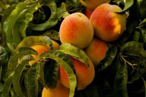 На Брянщине забраковали 10 тонн турецких персиков