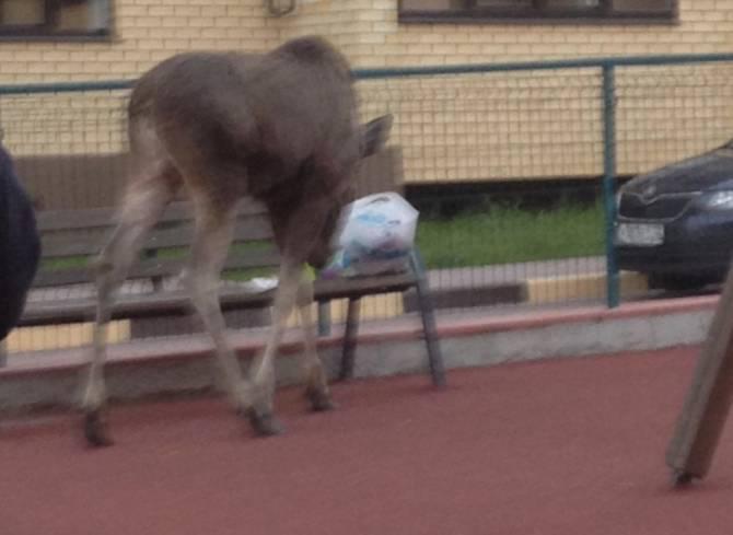 Под Брянском лось вышел покормиться на детской площадке