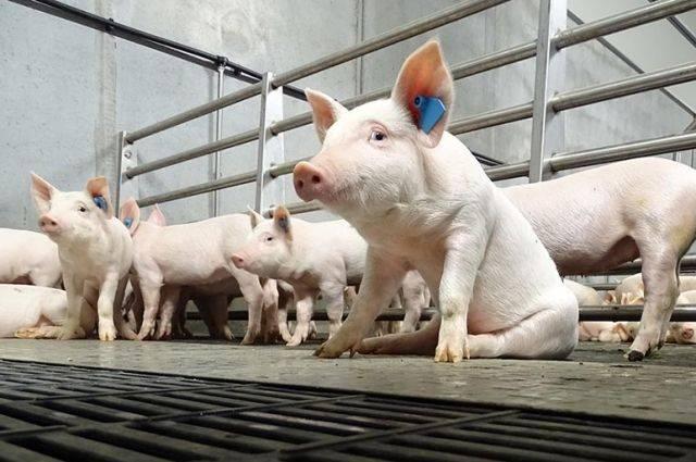В Брянской области «Мираторг» построит крупные свинокомплексы
