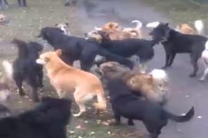 В Стародубе местных жителей пугает огромная свора собак