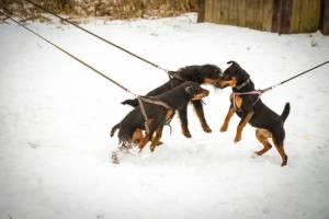 В Клинцах прошла выставка охотничьих собак