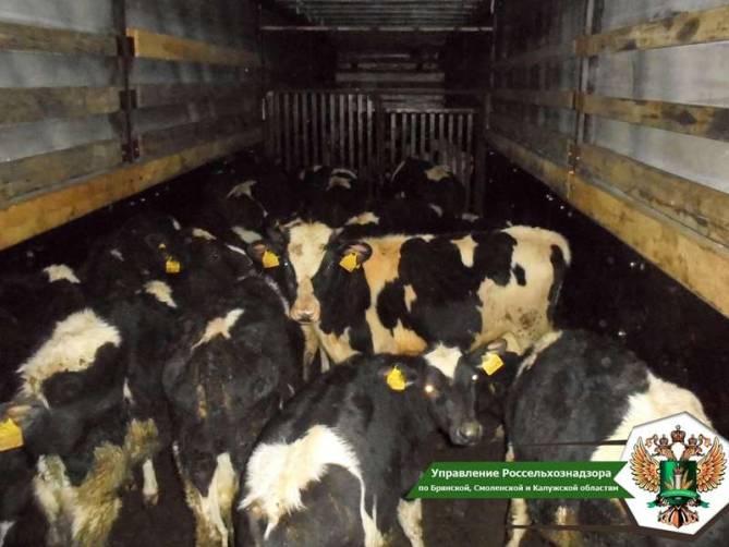 Брянские пограничники задержали грузовик с 50 коровами из Беларуси