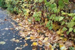Что делать Брянску с опавшей листвой?