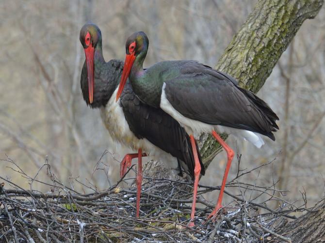 В «Брянском лесу» у пары черных аистов появились всего два птенца