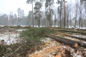 В Клинцах разрешение на вырубку вековых сосен выдали незаконно