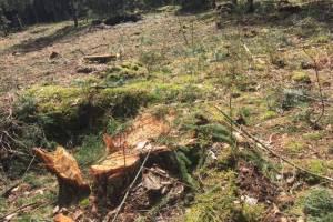 В лесничестве успокоили шокированного рубкой деревьев брянца