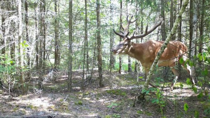 В фотоловушку заповедника «Брянский лес» попал благородный олень