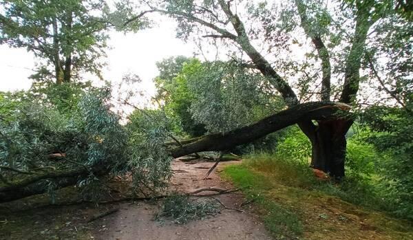В брянском посёлке Радица-Крыловка из-за ветра рухнуло дерево