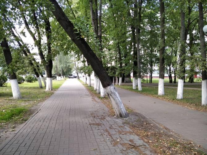 В Брянске на Красноармейской старое дерево грозит рухнуть на прохожих