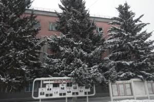 В Новозыбкове активисты нашли аргументы в пользу спила елей у мэрии