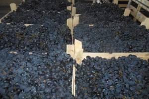 На брянскую фирму в Курске возбудили «виноградное» дело