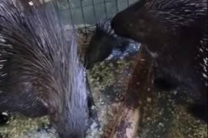 В брянском зоопарке родился дикобраз