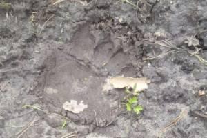 В окрестных с Брянском лесах нашли следы медведя